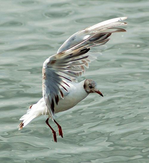 Albatross  New World Encyclopedia