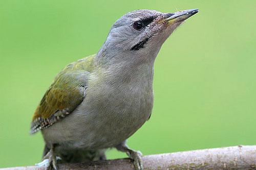 птица зеленый дятел фото